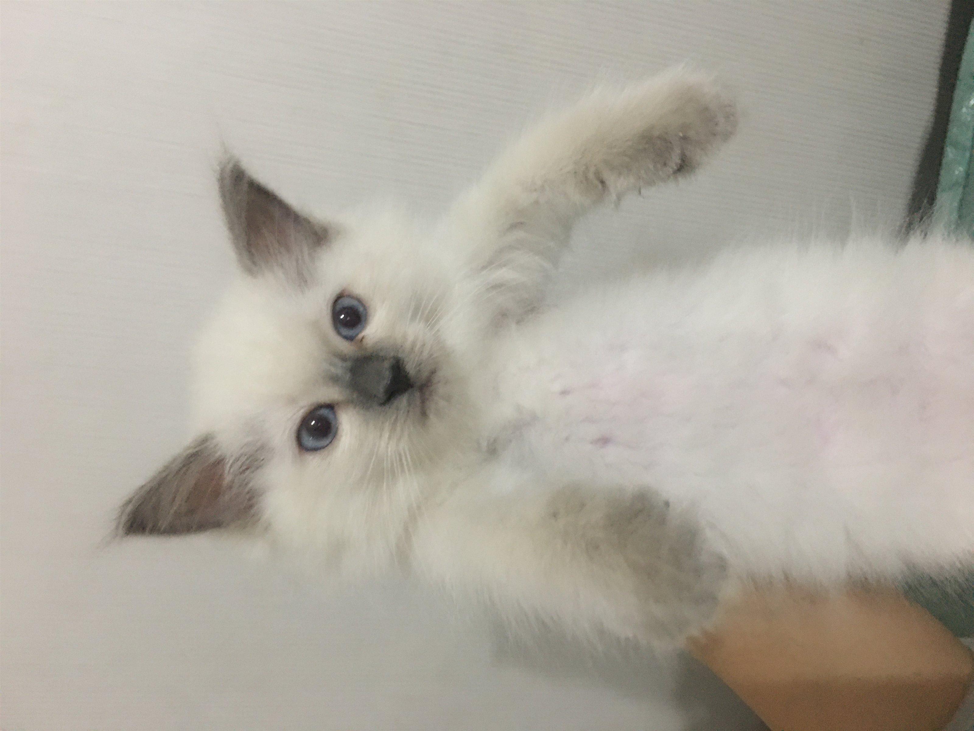 家养重点布偶猫2个月剩最后一只小母猫便宜