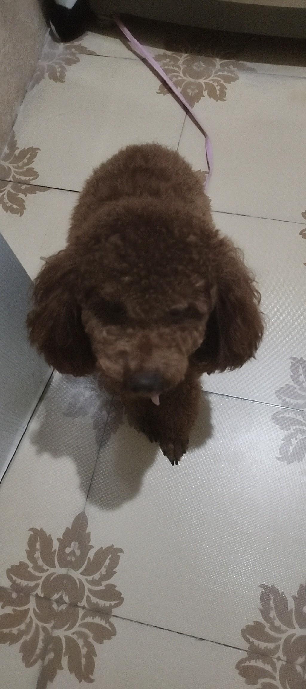 泰迪狗出售