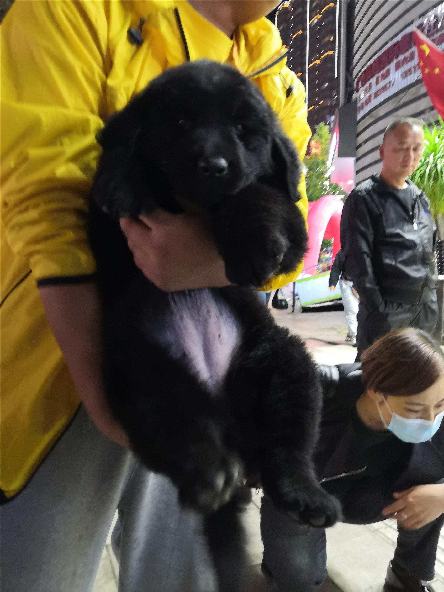 紐芬蘭幼犬
