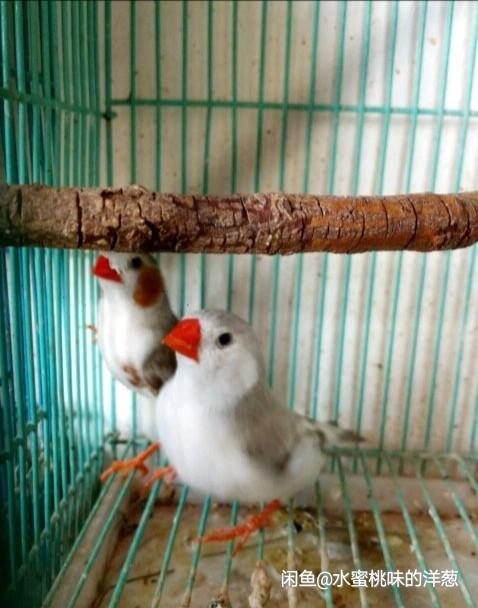 出售白文鸟白黑眼十姐妹鸟驼色十姐妹鸟
