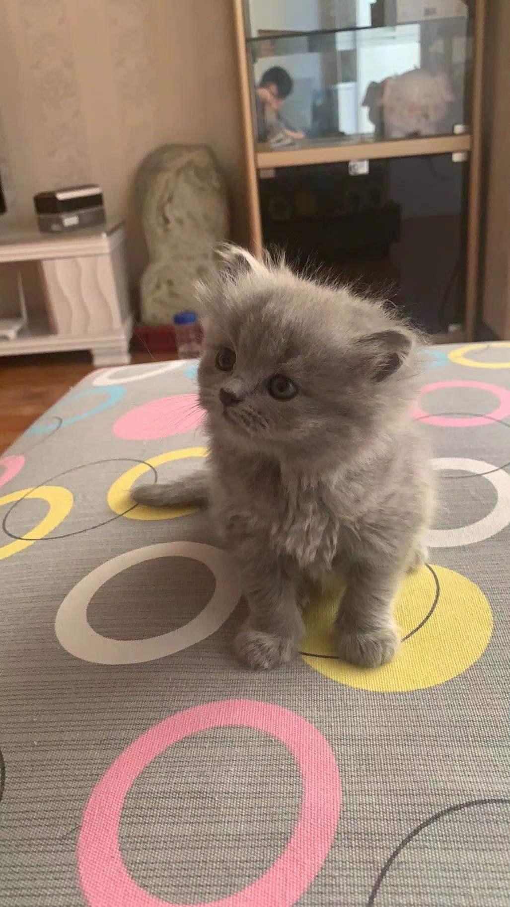 自养蓝猫,三月。