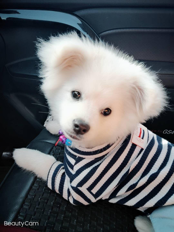 出售博美犬一只小公