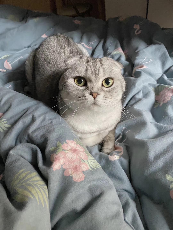 折耳银渐层母猫咪找配对