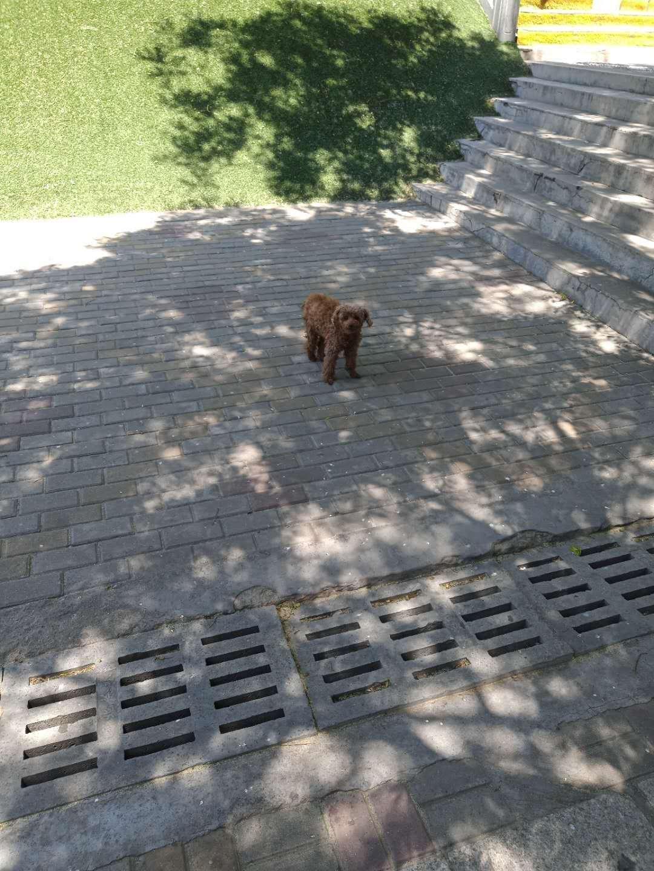 寻狗启示 泰迪