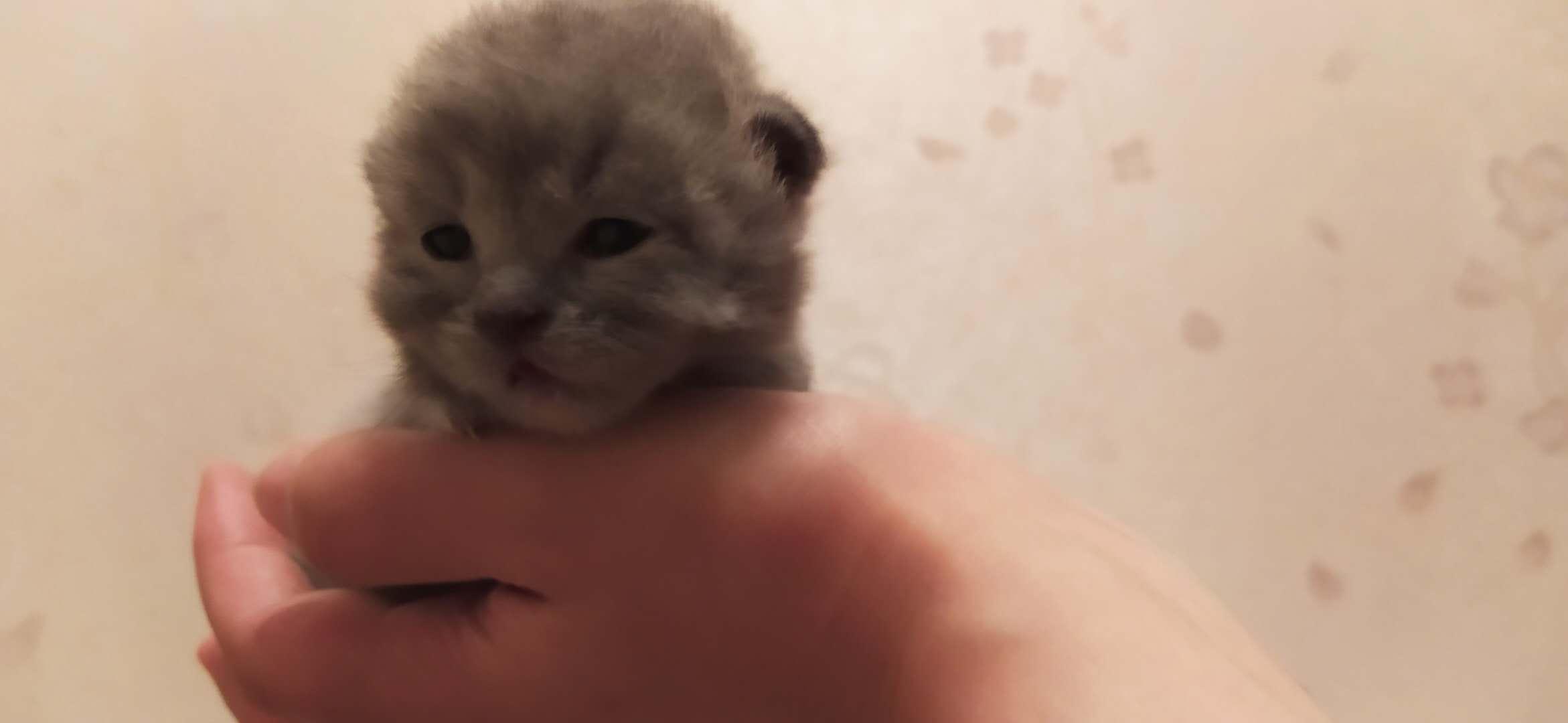 英短蓝猫 小奶猫 低价出售 自家养的