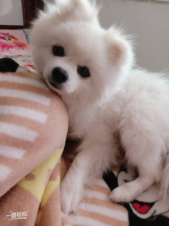博美小狗1岁多