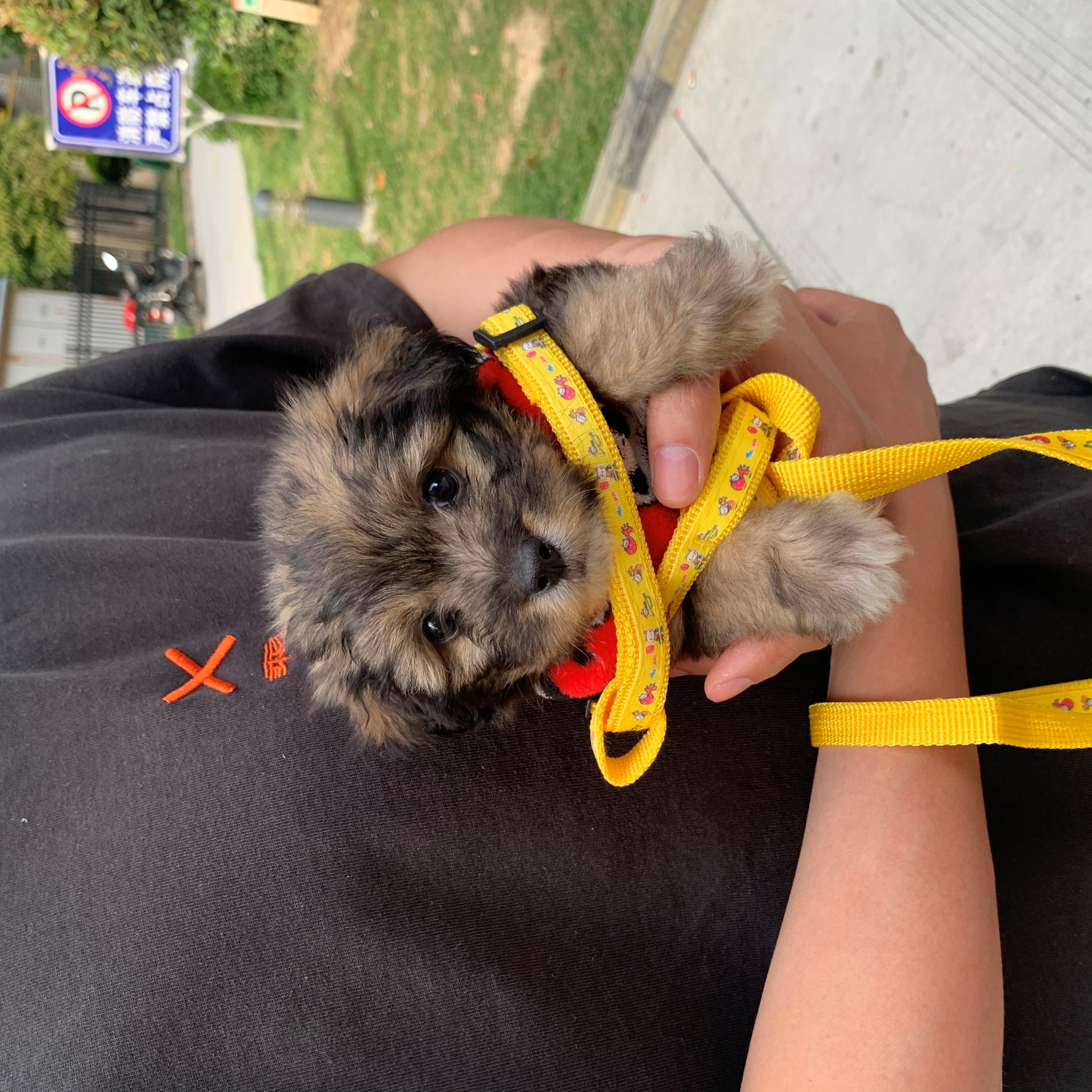 两个月泰迪蝴蝶犬串串找领养,弟弟