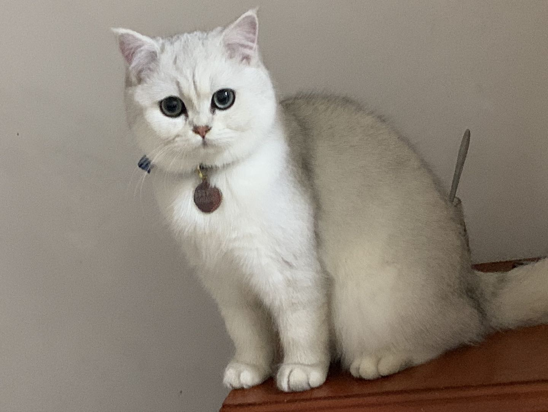 银渐层银点公猫英短