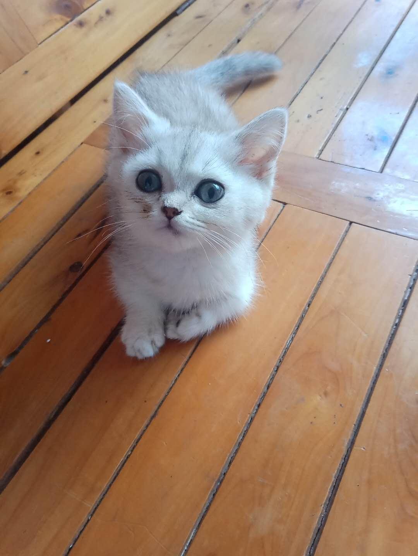 英短银渐层猫咪