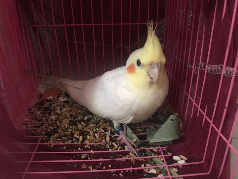 两个月大黄化玄凤鹦鹉一只