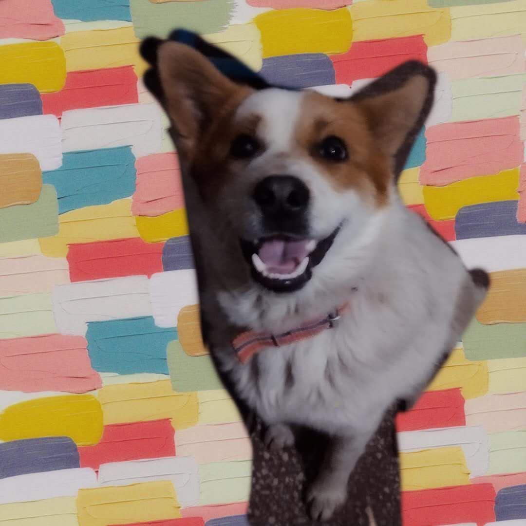 小土狗,汝州市二中附近丟的懷疑是偷狗賊