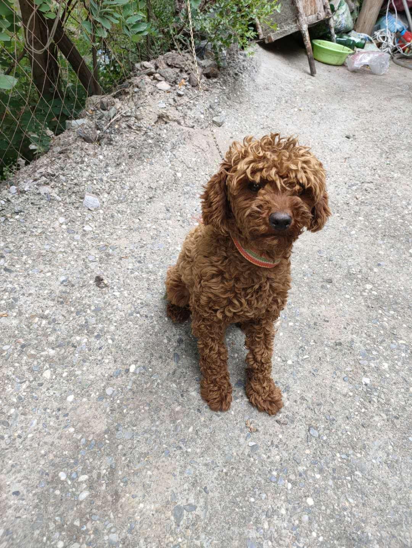 泰迪出售泰迪公的宠物狗