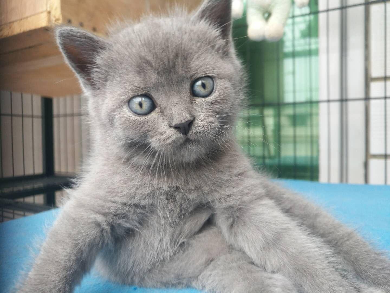 出一只英短蓝猫小母猫,刚满月