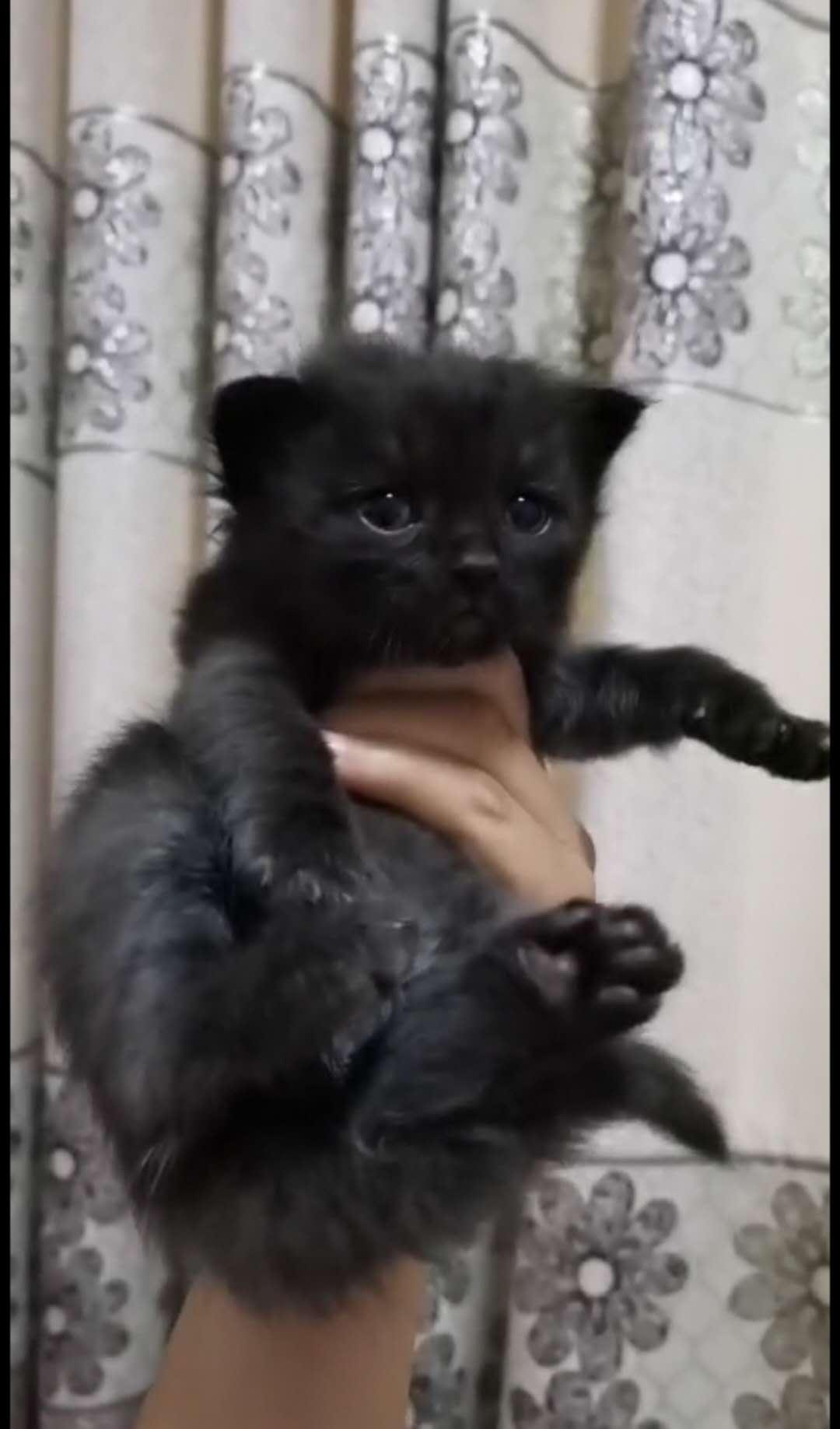 长毛小黑猫