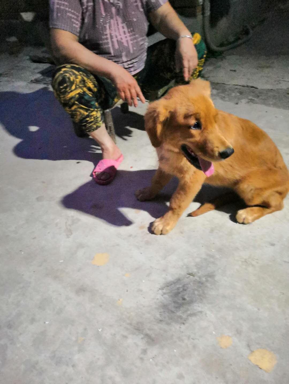 4个月金毛小狗出售