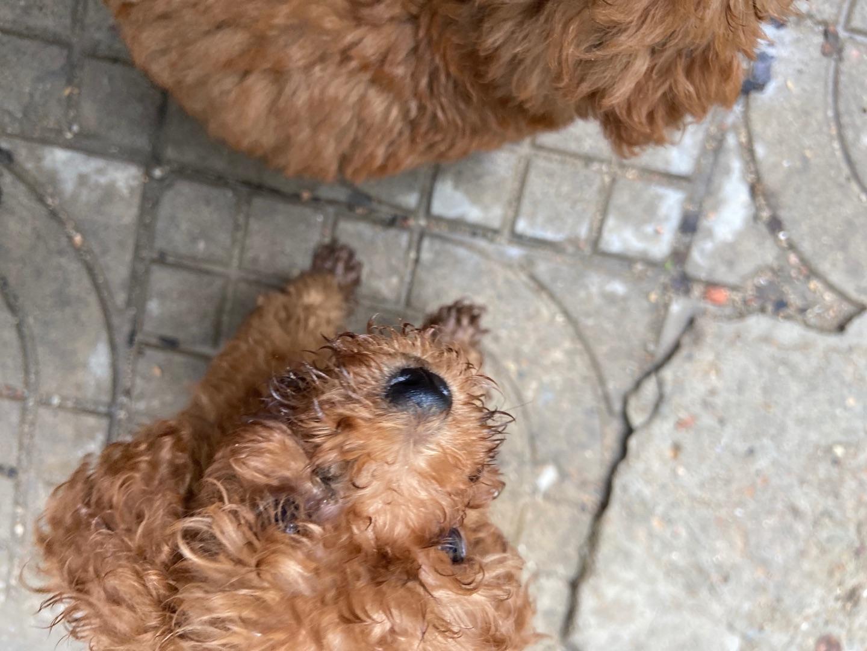 两个月大的小泰迪狗