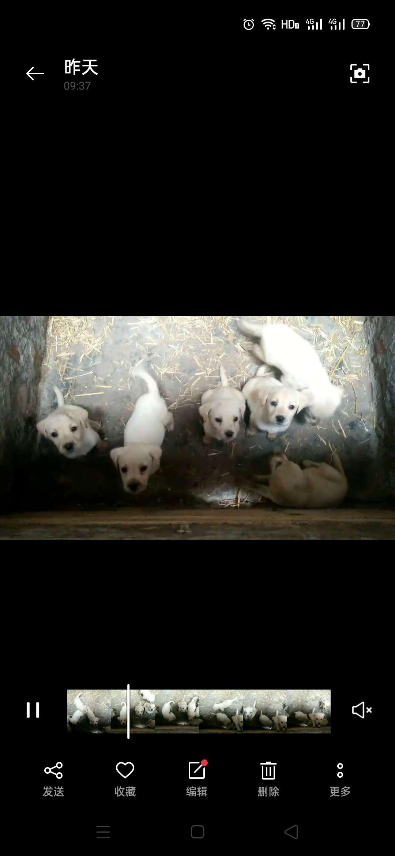 拉布拉多幼犬公母均有