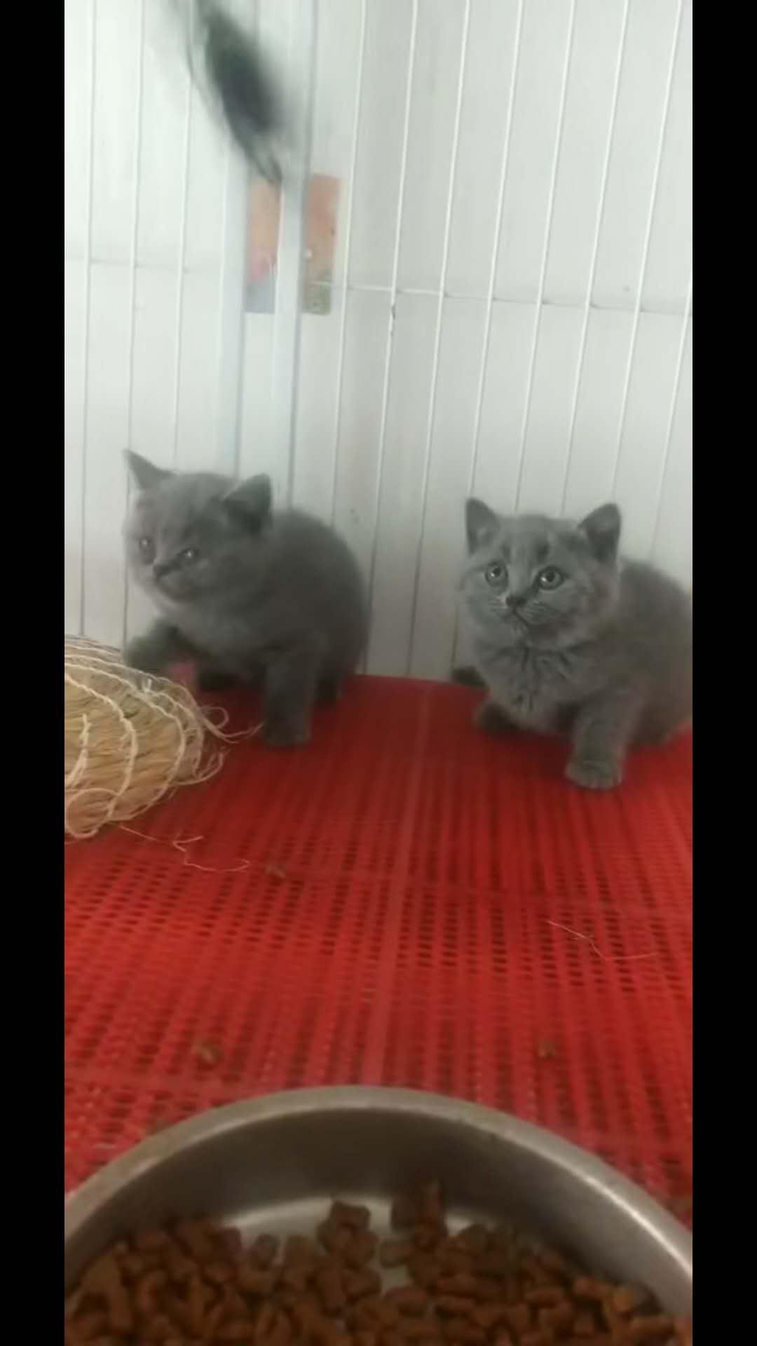 包子脸血统蓝猫随时上门看猫