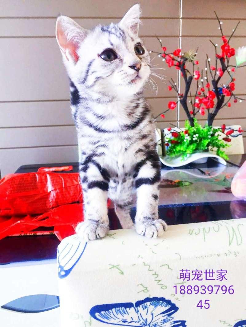 蓝猫,英短,虎斑,银剑