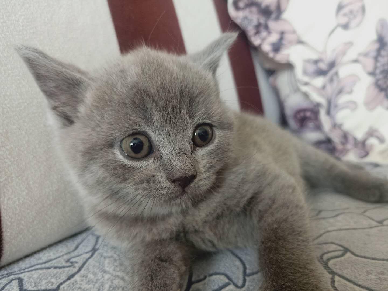 本地猫舍繁殖名猫