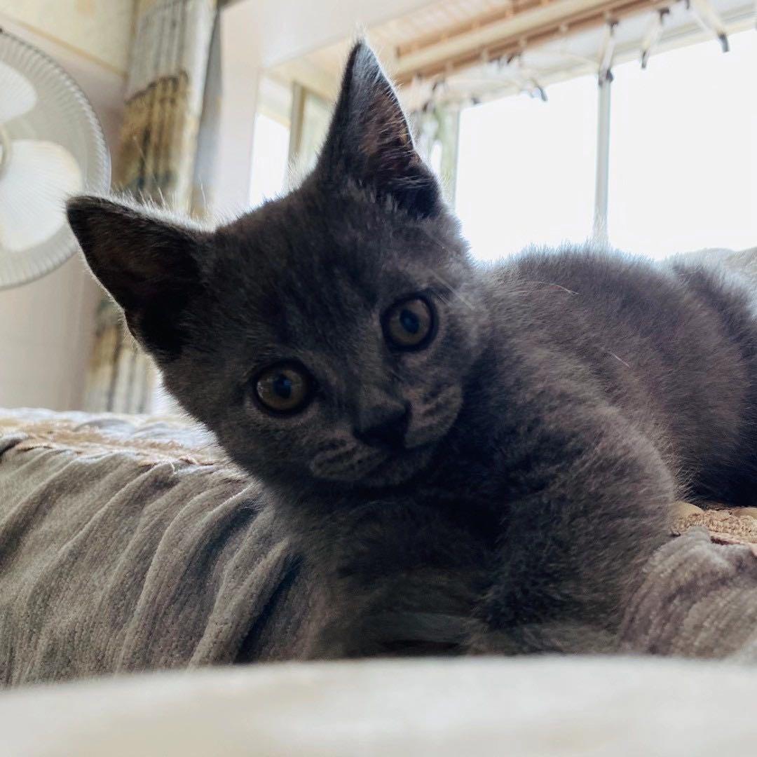 自家养的蓝猫,幼猫