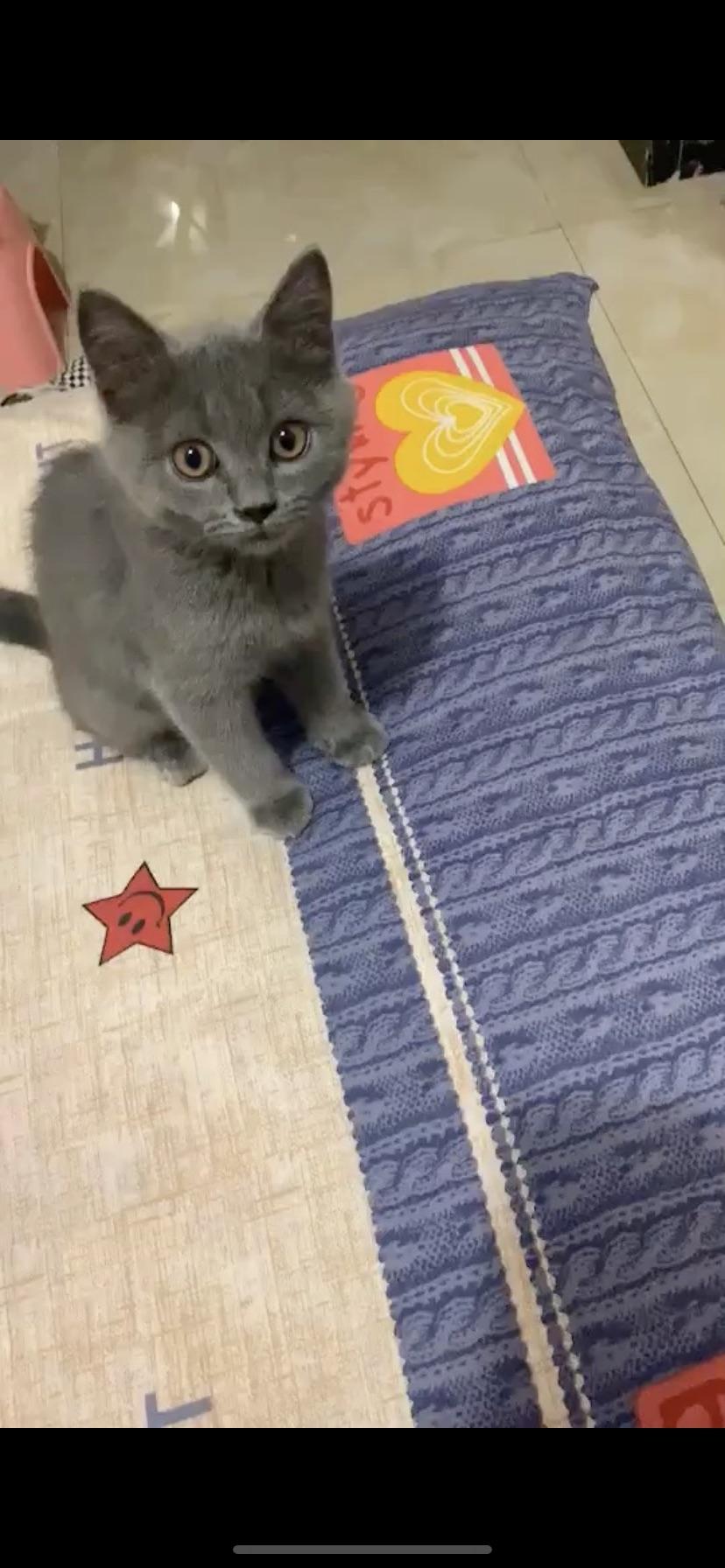 可爱滴小蓝猫