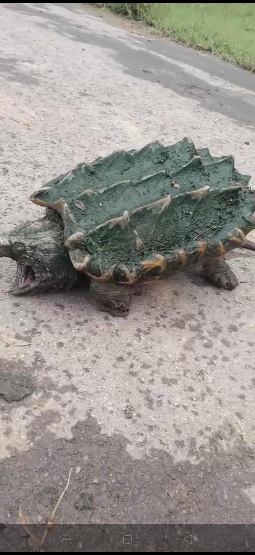 鱷龜出售一只