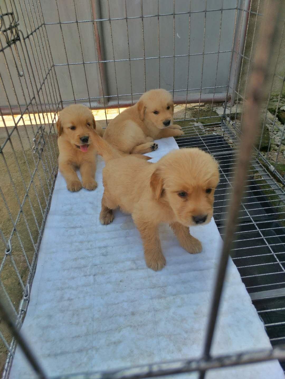 出售金毛幼犬,一个半月,自己家养的