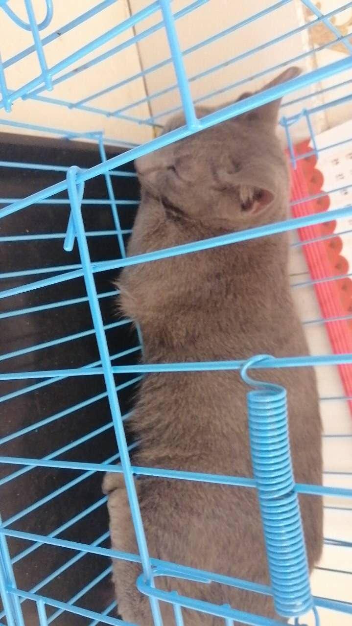 低价出售英短蓝猫一只