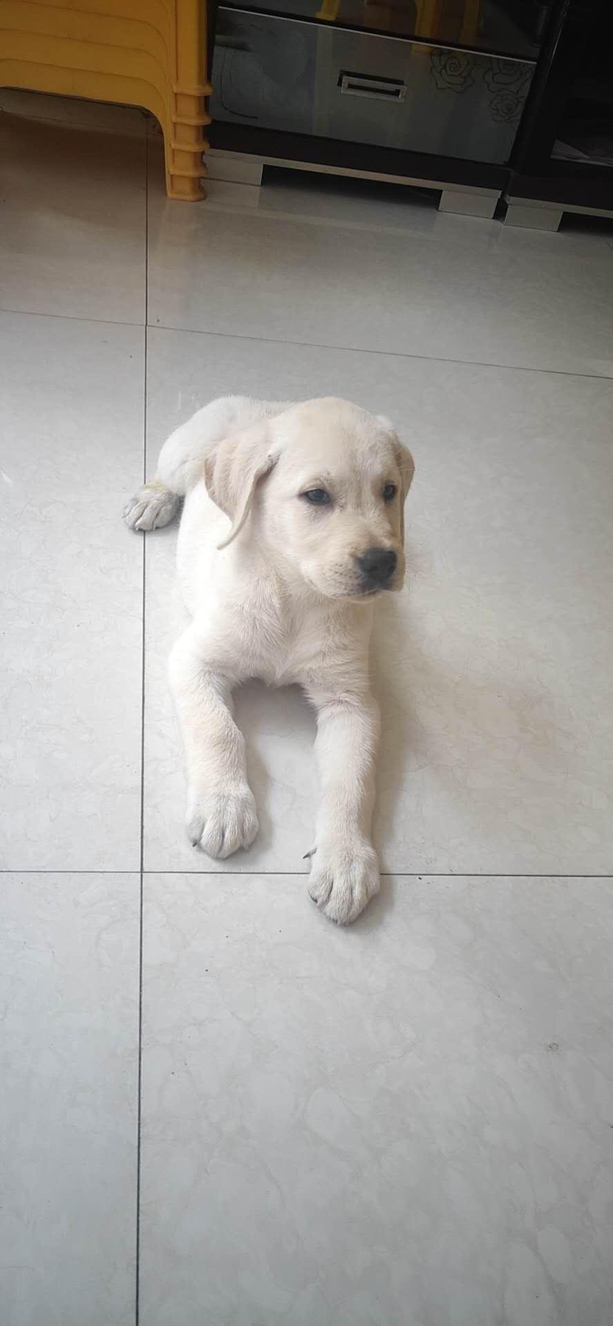 由于時間原因,出售兩個月拉布拉多犬