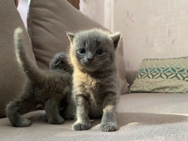 純種藍貓,剛滿月