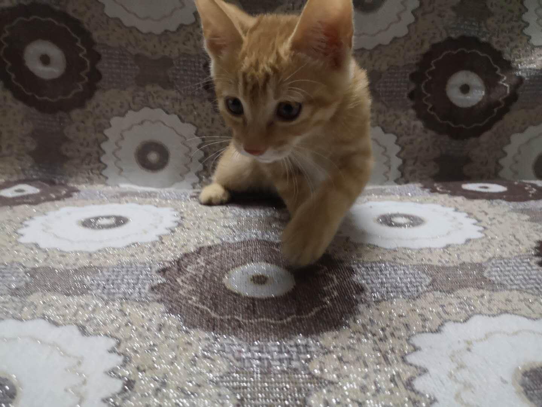 大橘幼猫一只。公。两个月。已驱虫和注射疫