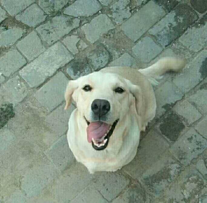 养了一年的拉布拉多母狗