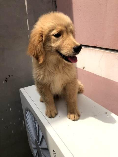低价出售双血统金毛幼犬