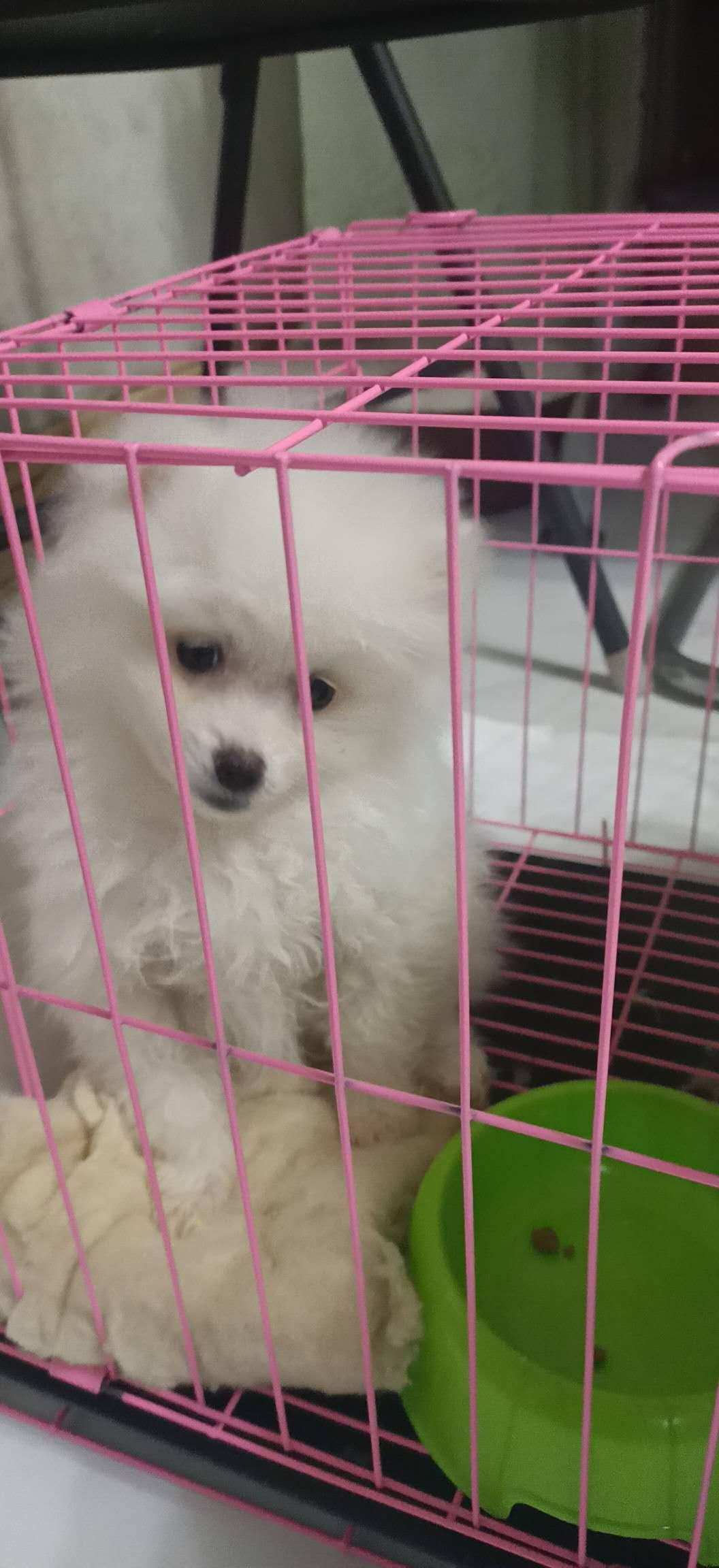 博美俊介幼犬宠物狗