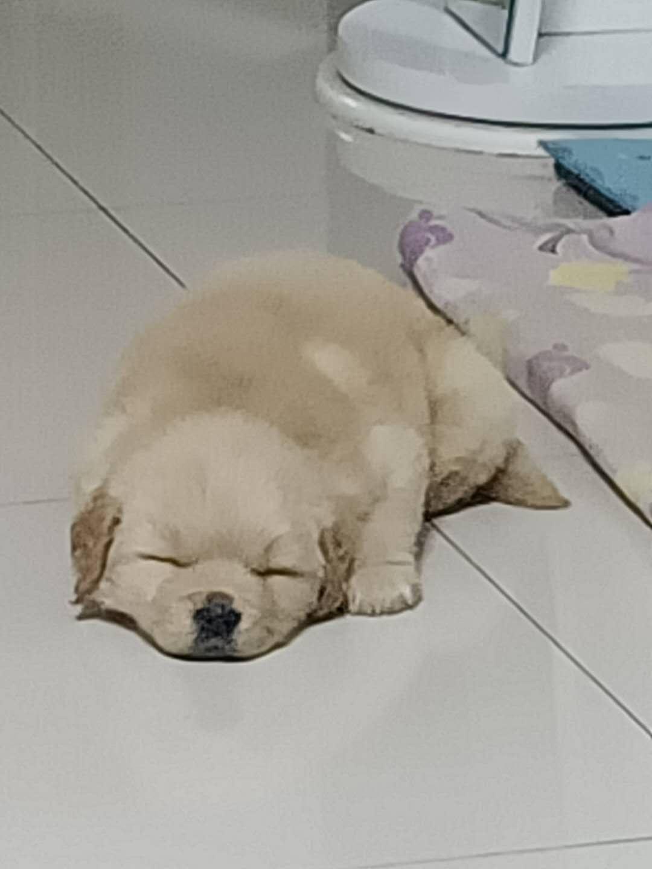 出售金毛幼犬,45天左右,公狗,大骨架,