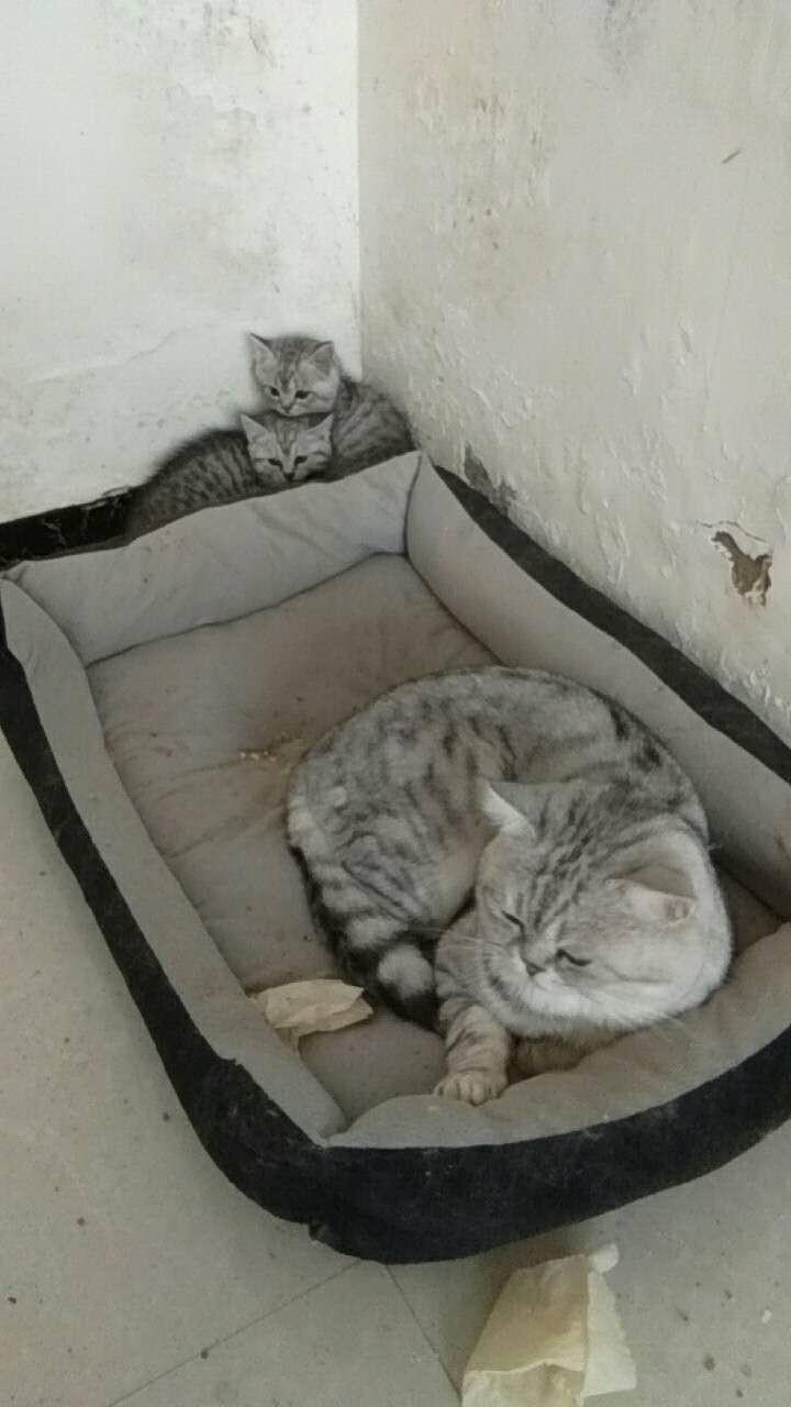 出售銀漸層小貓倆只