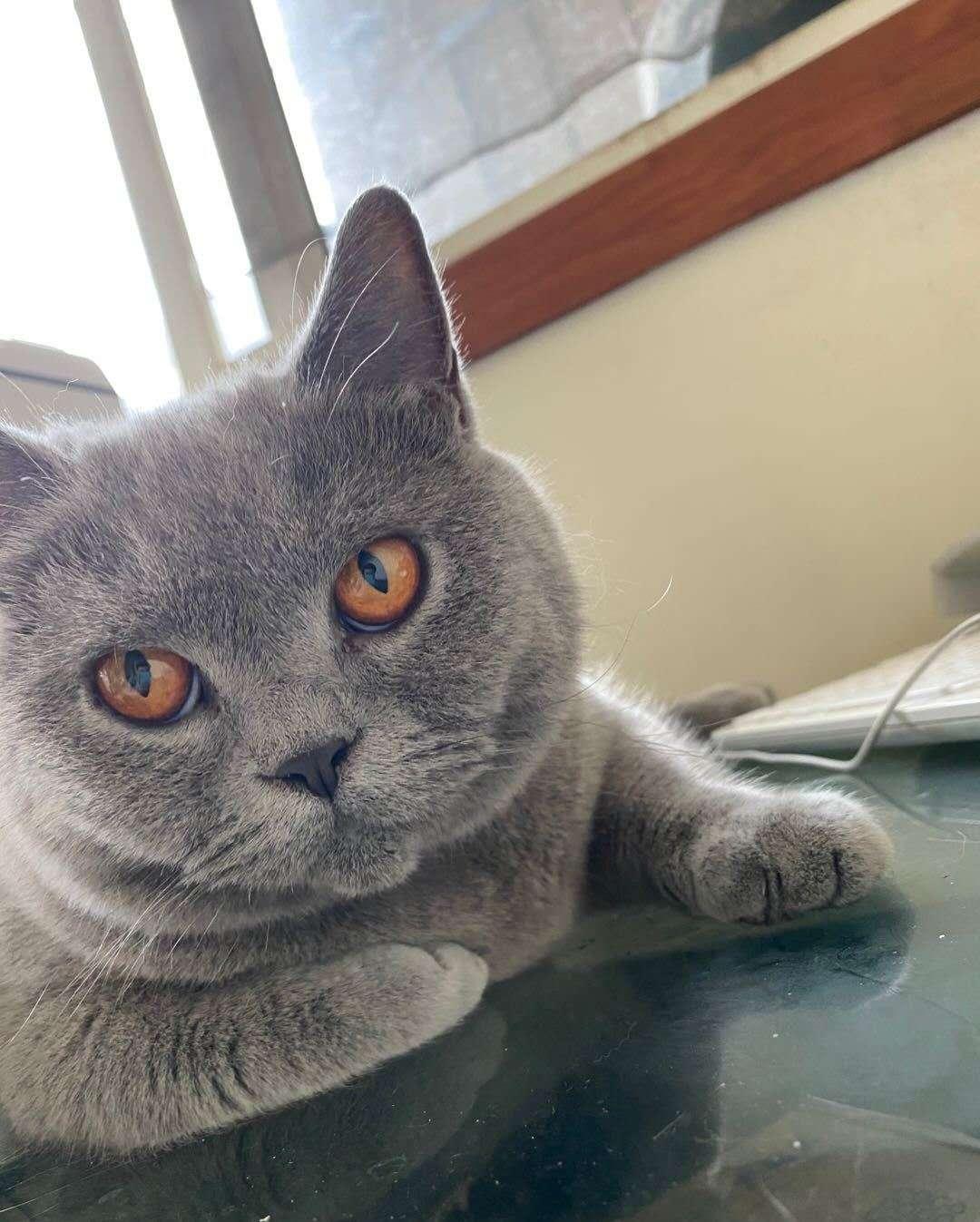 家养英国短毛蓝蓝猫  需要配小猫咪联系啦