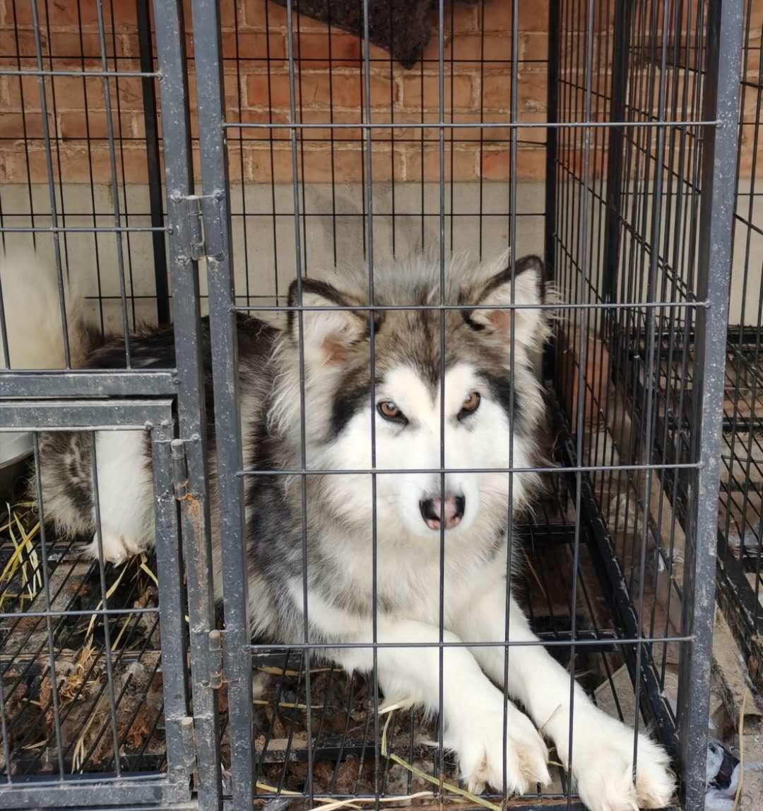 家养阿拉斯加母犬,一岁,疫苗全,定期驱虫