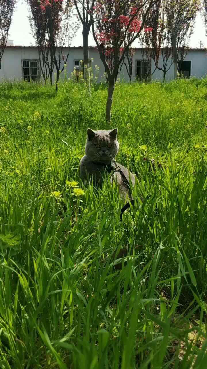 水榭花都丟失英短藍貓