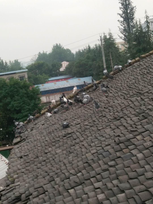 岳池县东湖附近散养家飞鸽子