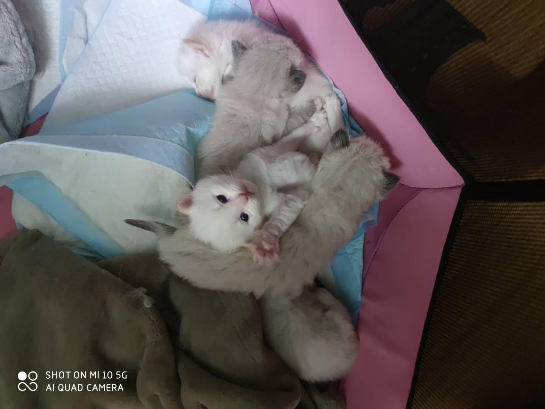 布偶猫纯种,爱猫人士价格可议。