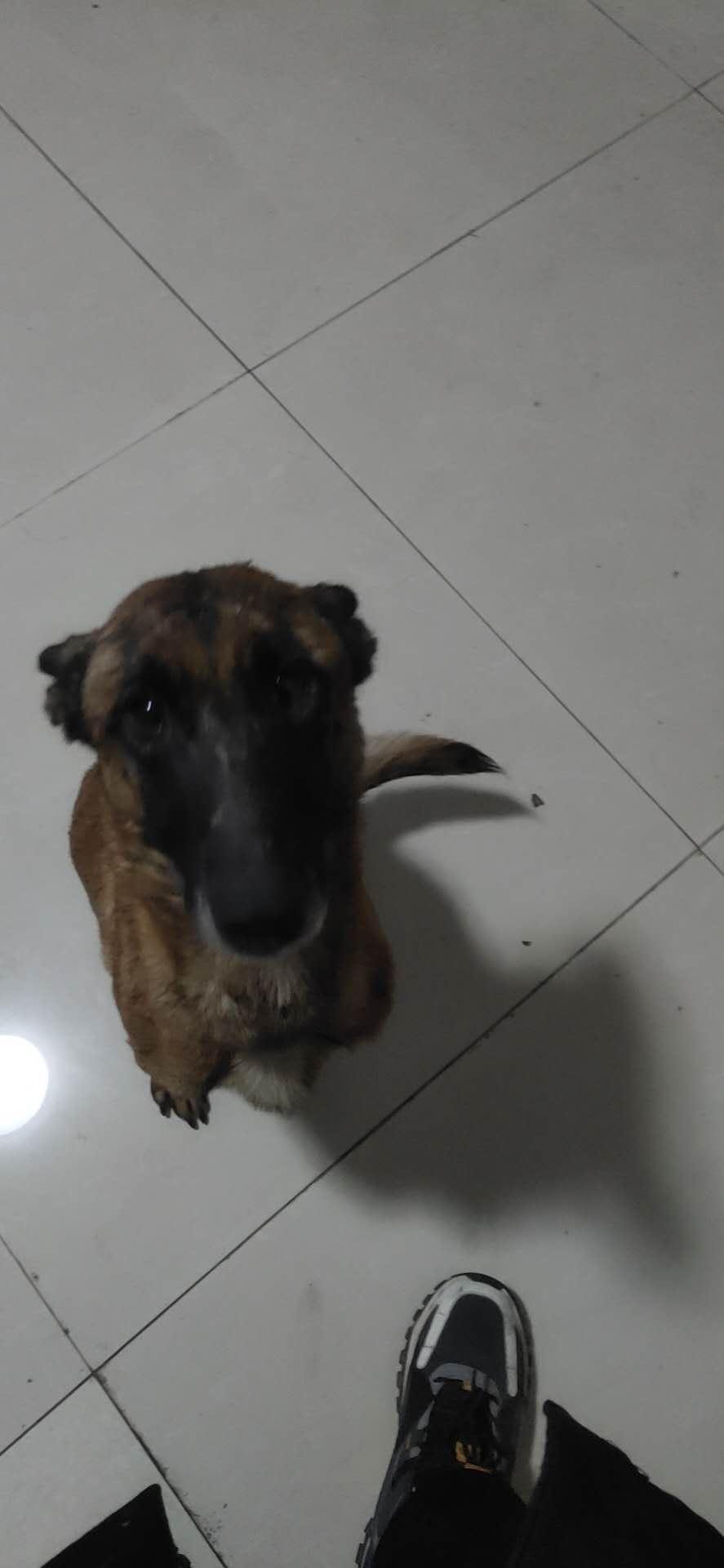 出售:马犬成年母,和最后两只幼犬。